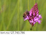 Купить «honeybee on pyramidal anacamptis pyramidalis», фото № 27743786, снято 17 октября 2018 г. (c) PantherMedia / Фотобанк Лори