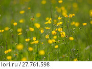 Купить «Yellow buttercup meadow», фото № 27761598, снято 23 апреля 2019 г. (c) PantherMedia / Фотобанк Лори