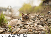 Купить «Beautiful cat, Siamese, with blue eyes lies», фото № 27761926, снято 21 сентября 2018 г. (c) PantherMedia / Фотобанк Лори