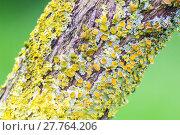 Купить «Yellow lichens on tree», фото № 27764206, снято 19 октября 2018 г. (c) PantherMedia / Фотобанк Лори