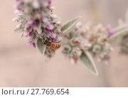 Купить «Honeybee, Hylaeus, gathers pollen », фото № 27769654, снято 5 июля 2020 г. (c) PantherMedia / Фотобанк Лори