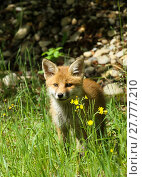 Купить «young fox», фото № 27777210, снято 22 марта 2019 г. (c) PantherMedia / Фотобанк Лори