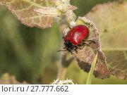 Купить «poplar leaf beetle (melanosoma populi)», фото № 27777662, снято 19 февраля 2018 г. (c) PantherMedia / Фотобанк Лори