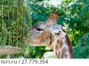 Купить «carnivorous giraffe in closeup», фото № 27779354, снято 21 марта 2018 г. (c) PantherMedia / Фотобанк Лори