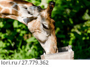 Купить «carnivorous giraffe in closeup», фото № 27779362, снято 21 марта 2018 г. (c) PantherMedia / Фотобанк Лори
