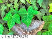 Купить «Closeup of ivy leaf in hdr», фото № 27779370, снято 22 сентября 2019 г. (c) PantherMedia / Фотобанк Лори