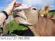 Купить «a cow will lick the hand of a woman», фото № 27780890, снято 24 июля 2019 г. (c) PantherMedia / Фотобанк Лори