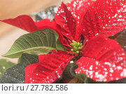 Купить «Red poinsettia holiday flower pot with silver sparkles », фото № 27782586, снято 24 февраля 2018 г. (c) PantherMedia / Фотобанк Лори