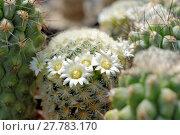 Купить «cactus (mammilaria spec.) with white flowers», фото № 27783170, снято 24 июня 2019 г. (c) PantherMedia / Фотобанк Лори