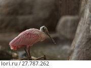 Купить «Roseate Spoonbill, Platalea ajaja, is a pink bird with a flat bill », фото № 27787262, снято 22 марта 2019 г. (c) PantherMedia / Фотобанк Лори