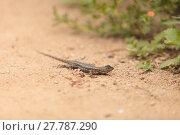 Купить «Brown common fence lizard, Sceloporus occidentalis, perches on the edge of a burrow », фото № 27787290, снято 25 марта 2019 г. (c) PantherMedia / Фотобанк Лори