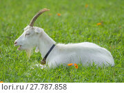 Купить «white house goat in the pasture / white goat on the meadow», фото № 27787858, снято 19 февраля 2020 г. (c) PantherMedia / Фотобанк Лори