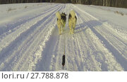 Купить «Alaskan malamutes pulling a sled», видеоролик № 27788878, снято 26 января 2015 г. (c) Алексей Кузнецов / Фотобанк Лори
