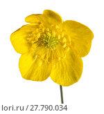 Купить «Yellow Buttercup Flower», фото № 27790034, снято 23 июля 2019 г. (c) PantherMedia / Фотобанк Лори