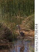 Купить «Great blue heron bird, Ardea herodias, in the wild, in a lake», фото № 27790414, снято 23 марта 2019 г. (c) PantherMedia / Фотобанк Лори