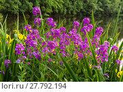Купить «Sommer blühende Pflanzen am Wasser Selketal-Stieg Harz», фото № 27792194, снято 22 июля 2019 г. (c) PantherMedia / Фотобанк Лори