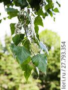 Купить «leaves of poplar tree and fluff on catkins», фото № 27793354, снято 20 апреля 2018 г. (c) PantherMedia / Фотобанк Лори