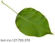 Купить «green leaf cherry tree (Prunus cerasus) isolated», фото № 27793370, снято 26 апреля 2018 г. (c) PantherMedia / Фотобанк Лори