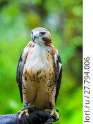 Купить «Red Tailed Hawk on Hand of Falconer», фото № 27794006, снято 16 сентября 2019 г. (c) PantherMedia / Фотобанк Лори