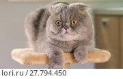 Купить «Animal portrait of Scottish Fold cat with a wide range of emotions», видеоролик № 27794450, снято 20 мая 2017 г. (c) Алексей Кузнецов / Фотобанк Лори