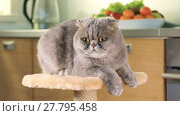 Купить «Scottish Fold cat resting on the stand and  looks around indoors», видеоролик № 27795458, снято 23 мая 2017 г. (c) Алексей Кузнецов / Фотобанк Лори