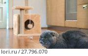 Купить «Scottish Fold cat runs into frame, looks around and runs away», видеоролик № 27796070, снято 17 июня 2017 г. (c) Алексей Кузнецов / Фотобанк Лори