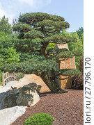 Купить «Shaped pine tree in the garden», фото № 27796170, снято 19 октября 2018 г. (c) PantherMedia / Фотобанк Лори