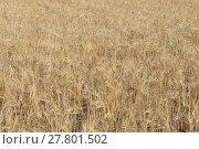 Купить «cornfield in spain», фото № 27801502, снято 20 октября 2018 г. (c) PantherMedia / Фотобанк Лори