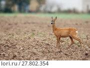 Купить «Roe deer in a clearing », фото № 27802354, снято 16 января 2019 г. (c) PantherMedia / Фотобанк Лори