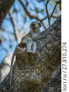 Купить «Baby vervet monkey lying on branch yawns», фото № 27810274, снято 23 февраля 2019 г. (c) PantherMedia / Фотобанк Лори