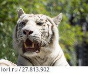 Купить «animal cat predator tiger weiss», фото № 27813902, снято 20 апреля 2019 г. (c) PantherMedia / Фотобанк Лори