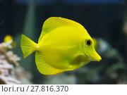 Купить «Zebrasoma yellow tang fish», фото № 27816370, снято 21 февраля 2019 г. (c) PantherMedia / Фотобанк Лори