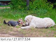 Купить «Две собаки - золотистый ретивер и йоркширский терьер отдыхают на траве», фото № 27817534, снято 5 июня 2016 г. (c) Татьяна Белова / Фотобанк Лори