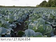 Купить «Cabbage field», фото № 27824654, снято 24 мая 2018 г. (c) PantherMedia / Фотобанк Лори