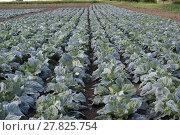 Купить «The cabbage field», фото № 27825754, снято 24 мая 2018 г. (c) PantherMedia / Фотобанк Лори