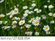 Купить «daisies splendor», фото № 27828954, снято 18 января 2019 г. (c) PantherMedia / Фотобанк Лори
