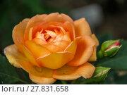 Купить «Английская кустовая роза Леди оф Шалот David Austin», фото № 27831658, снято 10 июля 2012 г. (c) Ольга Сейфутдинова / Фотобанк Лори