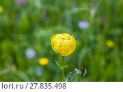 Купить «buttercup grows at the meadow in the provence», фото № 27835498, снято 23 апреля 2019 г. (c) PantherMedia / Фотобанк Лори