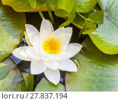 Купить «Japanese white lotus water lily», фото № 27837194, снято 21 июня 2019 г. (c) PantherMedia / Фотобанк Лори