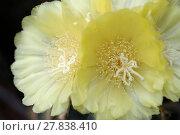 Купить «flowering notokaktus (notocactus spec)», фото № 27838410, снято 24 июня 2019 г. (c) PantherMedia / Фотобанк Лори
