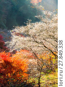 Купить «Nagoya, Obara Sakura in autumn», фото № 27849338, снято 25 июня 2019 г. (c) easy Fotostock / Фотобанк Лори