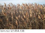 Купить «Thickets of dry reed», фото № 27854138, снято 18 февраля 2018 г. (c) PantherMedia / Фотобанк Лори