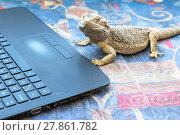 Купить «Agama lizard with laptop», фото № 27861782, снято 21 февраля 2019 г. (c) PantherMedia / Фотобанк Лори