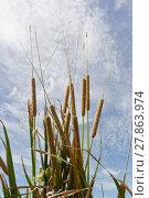 Купить «'Typha Angustifolia Papyrus' plant on blue sky background», фото № 27863974, снято 22 октября 2018 г. (c) PantherMedia / Фотобанк Лори