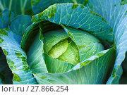 Купить «Cabbage in vegetable garden», фото № 27866254, снято 24 мая 2018 г. (c) PantherMedia / Фотобанк Лори