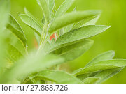 Купить «sage / kitchen sage / healing sage (salvia officinalis)», фото № 27868726, снято 25 марта 2019 г. (c) PantherMedia / Фотобанк Лори