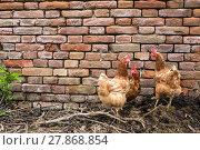 Купить «Hens in a farmyard (Gallus gallus domesticus)», фото № 27868854, снято 26 марта 2019 г. (c) PantherMedia / Фотобанк Лори