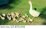 Купить «goslings with goose on the grass», фото № 27873918, снято 27 июня 2019 г. (c) PantherMedia / Фотобанк Лори