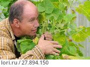 Мужчина в теплице собирает огурцы (2016 год). Редакционное фото, фотограф Юрий Морозов / Фотобанк Лори