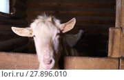 Купить «Portrait of a goat looking out paddock on the farm», видеоролик № 27896010, снято 11 февраля 2018 г. (c) Алексей Кузнецов / Фотобанк Лори